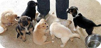 Australian Shepherd/Golden Retriever Mix Puppy for adoption in New Smyrna beach, Florida - SKY PUPPIES