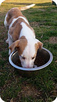 Catahoula Leopard Dog/Shepherd (Unknown Type) Mix Puppy for adoption in Warwick, Rhode Island - Carmella
