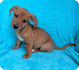 Hound (Unknown Type) Mix Puppy for adoption in Charlotte, North Carolina - Aphrodite