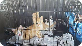 Domestic Shorthair Kitten for adoption in Scottsdale, Arizona - male kittens
