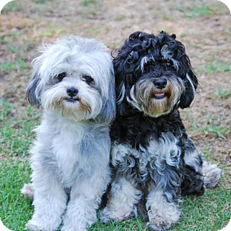Shih Tzu/Poodle (Miniature) Mix Dog for adoption in Los Angeles, California - LAVERNE & SHIRLEY