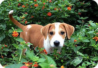 Labrador Retriever/Australian Cattle Dog Mix Puppy for adoption in Brattleboro, Vermont - PUPPY VELMA