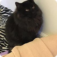 Domestic Longhair Cat for adoption in Bourbonnais, Illinois - shadow