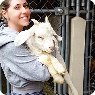 Goat for adoption in Los Angeles, California - Milton