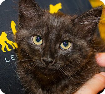 Domestic Mediumhair Kitten for adoption in Irvine, California - Prince
