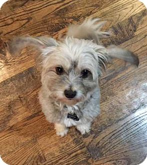 Lhasa Apso Mix Dog for adoption in Plano, Texas - SPENCER - CUTE LITTLE CUDDLER