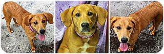 Coonhound Mix Dog for adoption in Forked River, New Jersey - Clementine