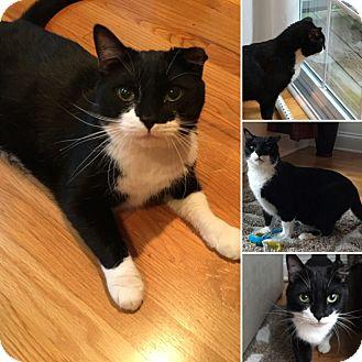 Domestic Shorthair Cat for adoption in bridgeport, Connecticut - Jack