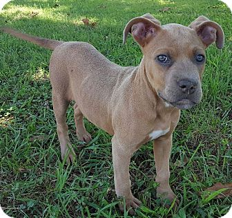 American Pit Bull Terrier Mix Puppy for adoption in Plainfield, Connecticut - Ciara