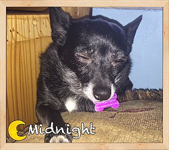Chihuahua Dog for adoption in Orlando, Florida - Midnight