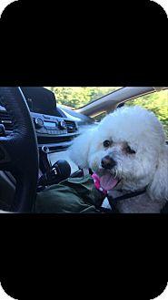 Bichon Frise Dog for adoption in Palm Bay, Florida - Max senior to senior program