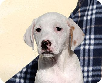 Labrador Retriever/Pointer Mix Puppy for adoption in Los Angeles, California - Olson