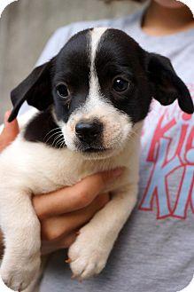 Boston Terrier/Dachshund Mix Puppy for adoption in Newark, Delaware - Muggsy
