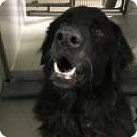 Adopt A Pet :: Ivan - Denver, CO