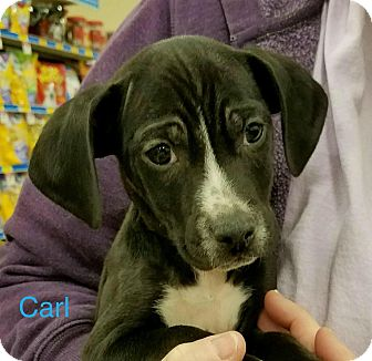 Beagle Mix Puppy for adoption in Sugar Grove, Illinois - Carl