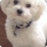 Adopt A Pet :: Snowy - Miami, FL