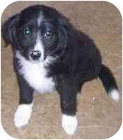 Border Collie/Labrador Retriever Mix Puppy for adoption in Minerva, Ohio - Mandy