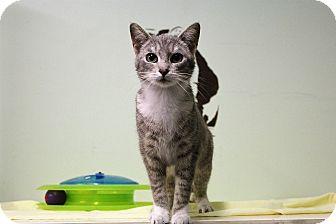 Domestic Shorthair Cat for adoption in Murphysboro, Illinois - Glados