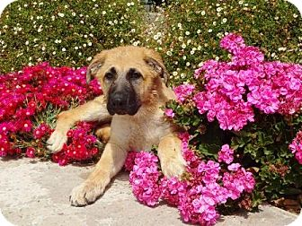 Great Pyrenees/German Shepherd Dog Mix Puppy for adoption in Lathrop, California - Moose