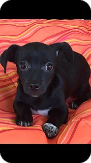 Shih Tzu/Chihuahua Mix Puppy for adoption in Las Vegas, Nevada - Star