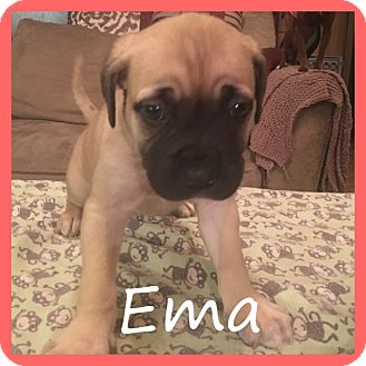 Weimaraner Mix Puppy for adoption in Sterling Heights, Michigan - Ema