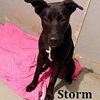 Adopt A Pet :: Storm - Cairo, GA