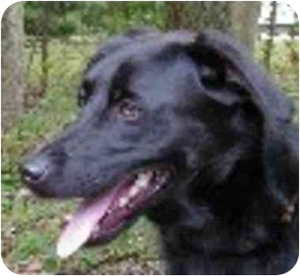 Retriever (Unknown Type) Mix Dog for adoption in Eatontown, New Jersey - Bob