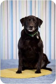 Labrador Retriever Dog for adoption in Portland, Oregon - Sadie