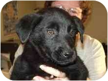 Australian Shepherd Mix Puppy for adoption in Broomfield, Colorado - Shiloh