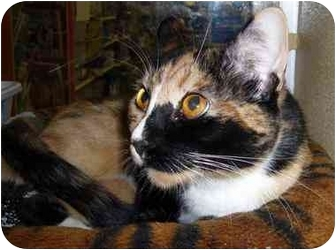 Domestic Shorthair Cat for adoption in Brea, California - Chanel