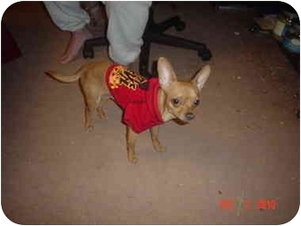 Chihuahua Dog for adoption in Nashville, Tennessee - Cowboy