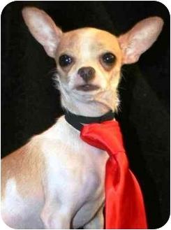 Chihuahua Mix Dog for adoption in petaluma, California - Rocky