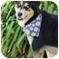 Photo 3 - Husky/German Shepherd Dog Mix Dog for adoption in Sherman Oaks, California - Elle'Belle