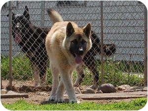Akita/German Shepherd Dog Mix Dog for adoption in Barron, Wisconsin - Axle