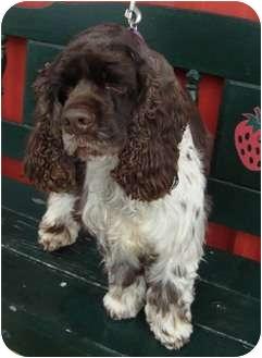 Cocker Spaniel Dog for adoption in Sugarland, Texas - Toto