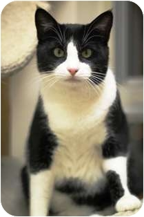 Domestic Shorthair Cat for adoption in Norwalk, Connecticut - Jack