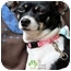 Photo 1 - Rat Terrier/Chihuahua Mix Dog for adoption in Mission Viejo, California - Mama Mia