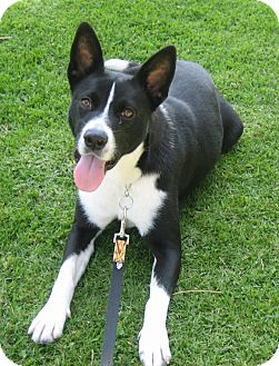 Border Collie Mix Dog for adoption in San Pedro, California - BETTIE
