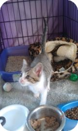 Domestic Shorthair Kitten for adoption in Maryville, Tennessee - Pumpkin