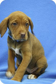 Spaniel (Unknown Type)/Vizsla Mix Puppy for adoption in Broomfield, Colorado - Slinky