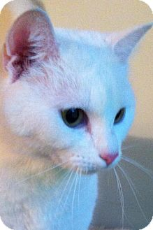 Domestic Shorthair Cat for adoption in Monroe, Georgia - Angel