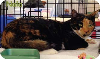 Calico Cat for adoption in Merrifield, Virginia - Nala
