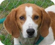 Redbone Coonhound/Foxhound Mix Dog for adoption in Snohomish, Washington - Family Friendly Chester!