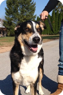 Bernese Mountain Dog Mix Dog for adoption in Spring City, Pennsylvania - Buddy