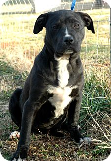 Terrier (Unknown Type, Medium)/Labrador Retriever Mix Puppy for adoption in Lawrenceville, Georgia - Merry