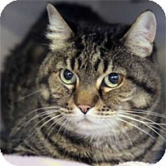 Domestic Shorthair Cat for adoption in Pacific Grove, California - Tootsie