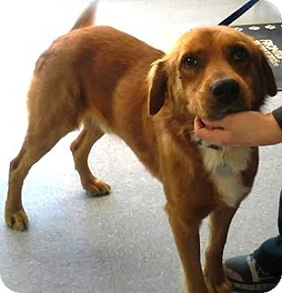 Golden Retriever Mix Dog for adoption in Tahlequah, Oklahoma - Chester