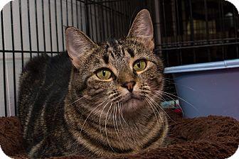 Domestic Shorthair Cat for adoption in Acushnet, Massachusetts - Juno