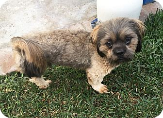 Lhasa Apso Dog for adoption in Los Angeles, California - TOMMY LEE JONES