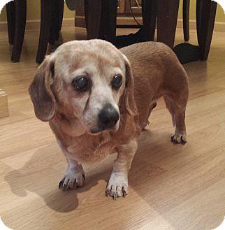 Dachshund/Pug Mix Dog for adoption in Cincinnati, Ohio - Precious